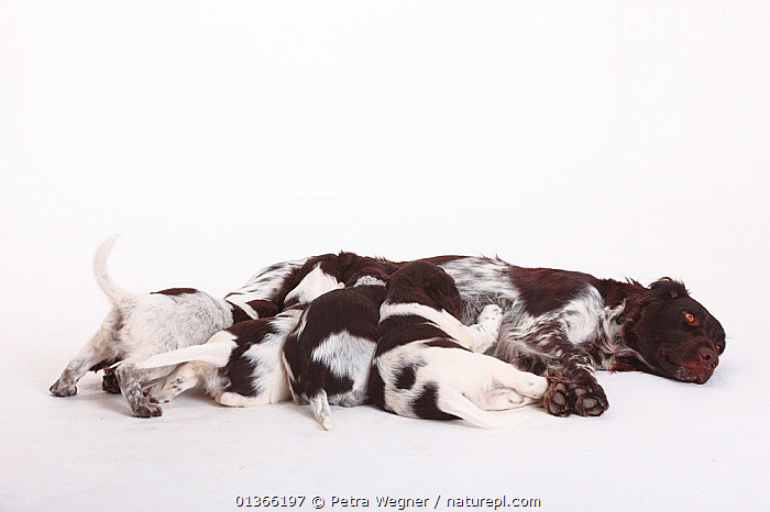 Small Munsterlander bitch nursing puppies, 7 weeks, against white background.  ,  BABIES,BEHAVIOUR,COLOUR COORDINATED,CUTE,CUTOUT,DOGS,FAMILIES,FEMALES,GUNDOGS,INDOORS,LYING,MEDIUM DOGS,NURSING,PETS,PORTRAITS,SIBLINGS,SMALL,STUDIO,SUCKLING,VERTEBRATES,WHITE,YOUNG,Canids  ,  Petra Wegner