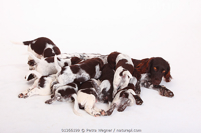 Small Munsterlander puppy, 7 weeks, against white background.  ,  BABIES,BEHAVIOUR,COLOUR COORDINATED,CUTE,CUTOUT,DOGS,FAMILIES,FRIENDS,GROUPS,GUNDOGS,INDOORS,LYING,MEDIUM DOGS,NURSING,PETS,PORTRAITS,SIBLINGS,SMALL,STUDIO,SUCKLING,VERTEBRATES,WHITE,YOUNG,Canids  ,  Petra Wegner