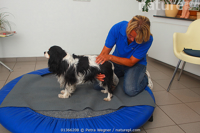 Cavalier King Charles Spaniel, tricolour, having physiotherapy; stabilisation exercise on trampoline / balance exercise. Model released.  ,  CUTE,DOGS,INDOORS,PEOPLE,PETS,SMALL DOGS,STUDIO,TOY DOGS,VERTEBRATES,VET,VETERINARIAN,VETERINARY,VETS,Canids  ,  Petra Wegner