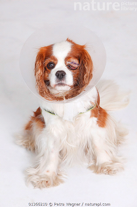 Cavalier King Charles Spaniel, blenheim, after surgery of the eye, wearing a protective funnel.  ,  CUTE,DOGS,INDOORS,LOOKING AT CAMERA,PETS,SAD,SMALL DOGS,STUDIO,TOY DOGS,VERTEBRATES,VERTICAL,VET,VETERINARIAN,VETERINARY,VETS,Concepts,Canids  ,  Petra Wegner