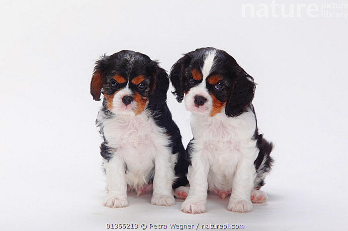 Cavalier King Charles Spaniel puppies, tricolour, 7 weeks.  ,  BABIES,COLOUR COORDINATED,CUTE,CUTOUT,DOGS,FRIENDS,GROUPS,INDOORS,LOOKING AT CAMERA,PETS,PORTRAITS,PUP,PUPPIES,PUPPY,PUPS,SITTING,SMALL,SMALL DOGS,STUDIO,TOY DOGS,VERTEBRATES,WHITE,YOUNG,Canids  ,  Petra Wegner