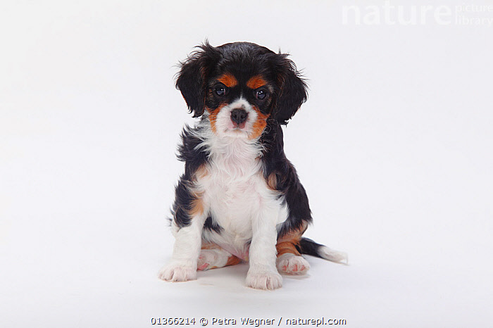 Cavalier King Charles Spaniel puppy, tricolour, 7 weeks.  ,  BABIES,CUTE,CUTOUT,DOGS,INDOORS,LOOKING AT CAMERA,PETS,PORTRAITS,PUP,PUPPIES,PUPPY,PUPS,SITTING,SMALL DOGS,STUDIO,TOY DOGS,VERTEBRATES,WHITE,YOUNG,Canids  ,  Petra Wegner