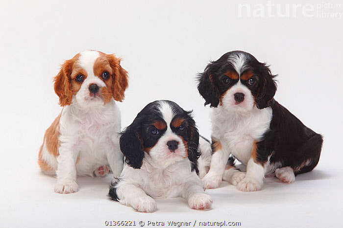 Cavalier King Charles Spaniel,puppies, tricolour and blenheim, 7 weeks.  ,  BABIES,COLOUR DIMORPHISM,CUTE,CUTOUT,DOGS,FRIENDS,GROUPS,INDOORS,LOOKING AT CAMERA,LYING,PETS,PORTRAITS,SITTING,SMALL,SMALL DOGS,STUDIO,THREE,TOY DOGS,VERTEBRATES,WHITE,YOUNG,Canids  ,  Petra Wegner
