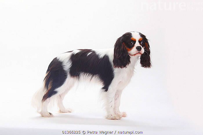 Cavalier King Charles Spaniel bitch, tricolour, 1 year.  ,  CUTE,CUTOUT,DOGS,FEMALES,INDOORS,PETS,PORTRAITS,PROFILE,SMALL DOGS,STUDIO,TOY DOGS,VERTEBRATES,WHITE,Canids  ,  Petra Wegner