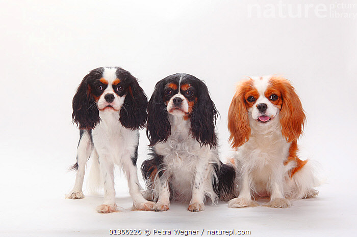 Cavalier King Charles Spaniels, blenheim and tricolour.  ,  COLOUR DIMORPHISM,CUTE,CUTOUT,DOGS,FAMILIES,FRIENDS,GROUPS,INDOORS,LOOKING AT CAMERA,PETS,PORTRAITS,SIBLINGS,SITTING,SMALL DOGS,STUDIO,THREE,TOY DOGS,VERTEBRATES,WHITE,Canids  ,  Petra Wegner