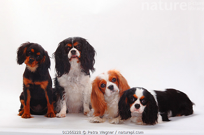 Cavalier King Charles Spaniel puppies, tricolour, blenheim, black-and-tan  ,  BABIES,COLOUR DIMORPHISM,CUTE,CUTOUT,DOGS,FAMILIES,FOUR,FRIENDS,GROUPS,INDOORS,LOOKING AT CAMERA,LYING,PETS,PORTRAITS,PUP,PUPPIES,PUPPY,PUPS,SIBLINGS,SITTING,SMALL DOGS,STUDIO,TOY DOGS,VERTEBRATES,WHITE,YOUNG,Canids  ,  Petra Wegner