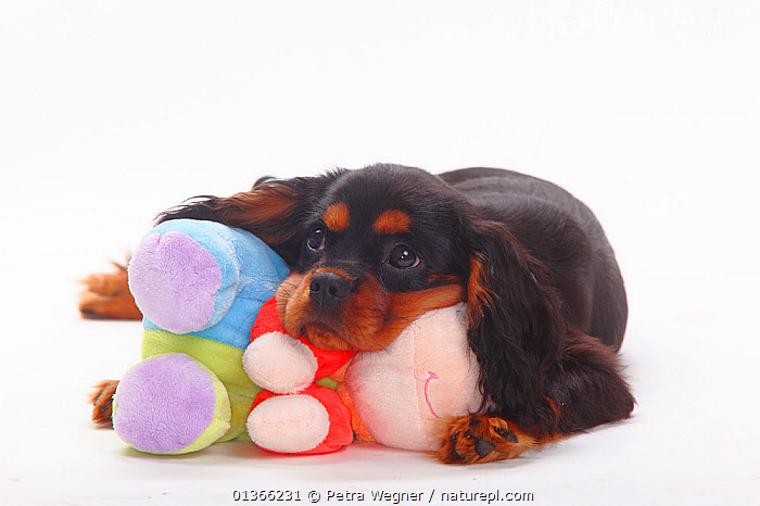 Cavalier King Charles Spaniel puppy, black-and-tan, 4 months, with soft toy.  ,  BABIES,CUTE,CUTOUT,DOGS,INDOORS,PETS,PORTRAITS,PUP,PUPPIES,PUPPY,PUPS,SMALL DOGS,STUDIO,TOY DOGS,TOYS,VERTEBRATES,WHITE,YOUNG,Canids  ,  Petra Wegner