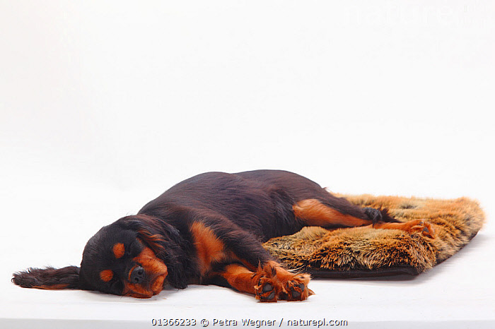 Cavalier King Charles Spaniel puppy, black-and-tan, 4 months; sleeping.  ,  BABIES,CUTE,CUTOUT,DOGS,INDOORS,LYING,PETS,PORTRAITS,PUP,PUPPIES,PUPPY,PUPS,SLEEPING,SMALL DOGS,STUDIO,TOY DOGS,VERTEBRATES,WHITE,YOUNG,Canids  ,  Petra Wegner