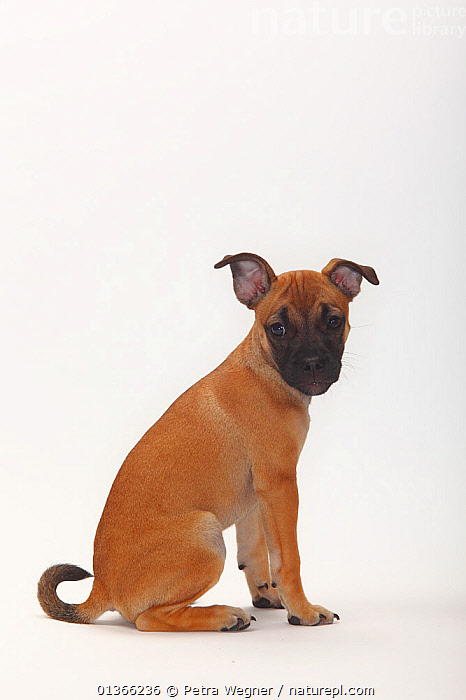 Mixed Breed puppy, 12 weeks / Pug crossbred.  ,  BABIES,CUTE,CUTOUT,DOGS,INDOORS,LOOKING AT CAMERA,MIXED BREED,PETS,PORTRAITS,PROFILE,PUP,PUPPIES,PUPPY,PUPS,SITTING,SMALL DOGS,STUDIO,TOY DOGS,VERTEBRATES,VERTICAL,WHITE,YOUNG,Canids  ,  Petra Wegner