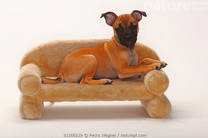 Mixed Breed  puppy, 12 weeks / Pug crossbred; on small sofa.  ,  BABIES,CUTE,CUTOUT,DOGS,INDOORS,LOOKING AT CAMERA,LYING,PETS,PORTRAITS,PUP,PUPPIES,PUPPY,PUPS,STUDIO,VERTEBRATES,WHITE,YOUNG,Canids  ,  Petra Wegner