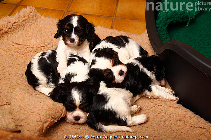 Cavalier King Charles Spaniel puppies, tricolour, 5 weeks.  ,  BABIES,COLOUR COORDINATED,CUTE,DOGS,FAMILIES,FRIENDS,GROUPS,INDOORS,LYING,PETS,PORTRAITS,SIBLINGS,SMALL,SMALL DOGS,TOY DOGS,VERTEBRATES,YOUNG,Canids  ,  Petra Wegner