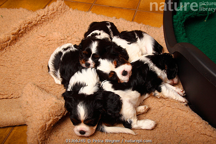 Cavalier King Charles Spaniel puppies, tricolour, 5 weeks.  ,  BABIES,COLOUR COORDINATED,CUTE,DOGS,FAMILIES,FRIENDS,GROUPS,INDOORS,LYING,PETS,PORTRAITS,PUP,PUPPIES,PUPPY,PUPS,SIBLINGS,SMALL,SMALL DOGS,STUDIO,TOY DOGS,VERTEBRATES,YOUNG,Canids  ,  Petra Wegner