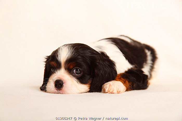 Cavalier King Charles Spaniel puppy, tricolour, 5 weeks.  ,  BABIES,CUTE,CUTOUT,DOGS,INDOORS,LYING,PETS,PORTRAITS,PUP,PUPPIES,PUPPY,PUPS,SMALL DOGS,STUDIO,TOY DOGS,VERTEBRATES,WHITE,YOUNG,Canids  ,  Petra Wegner