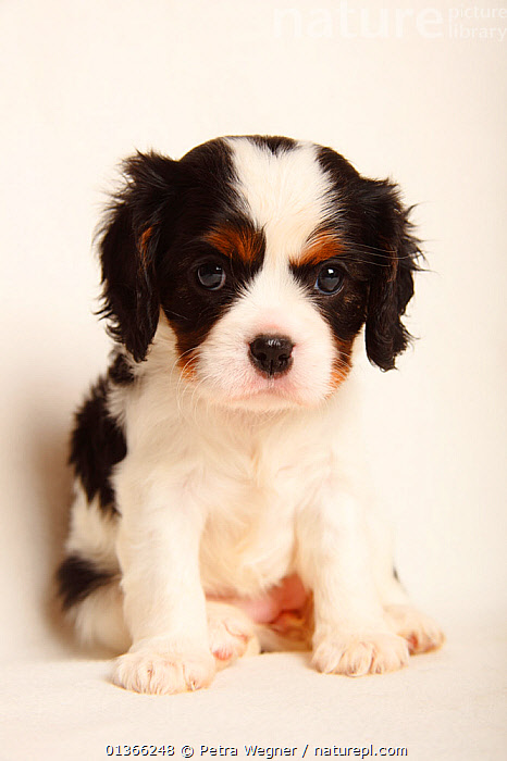 Cavalier King Charles Spaniel puppy, tricolour, 5 weeks.  ,  BABIES,CUTE,CUTOUT,DOGS,INDOORS,LOOKING AT CAMERA,PETS,PORTRAITS,PUP,PUPPIES,PUPPY,PUPS,SITTING,SMALL DOGS,STUDIO,TOY DOGS,VERTEBRATES,VERTICAL,WHITE,YOUNG,Canids  ,  Petra Wegner