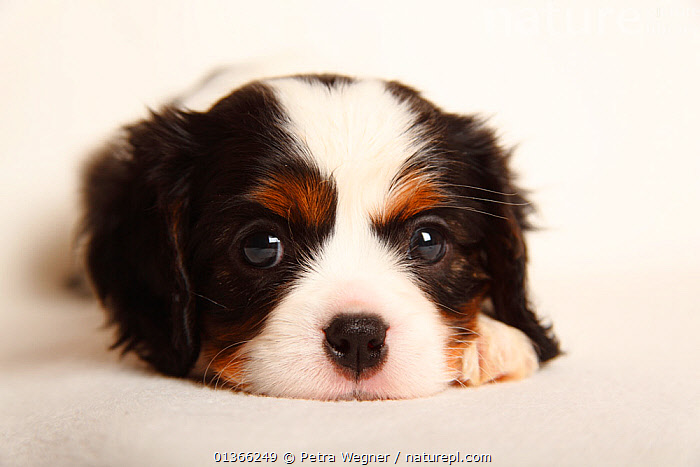 Cavalier King Charles Spaniel puppy, tricolour, 5 weeks.  ,  animal head,animal marking,BABIES,catalogue4,Cavalier King Charles Spaniel,close up,CUTE,CUTOUT,DOGS,HEADS,INDOORS,looking at camera,lying,Nobody,one animal,PETS,PORTRAITS,pup,puppies,puppy,pups,sadness,small dogs,Studio,studio shot,toy dogs,tricolour,VERTEBRATES,WHITE,white background,YOUNG,young animal,Canids  ,  Petra Wegner