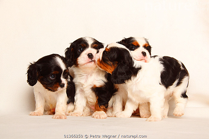 Cavalier King Charles Spaniel puppies, tricolour, 5 weeks.  ,  BABIES,COLOUR COORDINATED,CUTE,CUTOUT,DOGS,FAMILIES,FOUR,FRIENDS,GROUPS,INDOORS,LOOKING AT CAMERA,PETS,PORTRAITS,SIBLINGS,SMALL,SMALL DOGS,STUDIO,TOY DOGS,VERTEBRATES,WHITE,YOUNG,Canids  ,  Petra Wegner