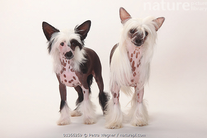 Chinese Crested Dog, hairless bitch with puppy, male, 4 months.  ,  animal marking,BABIES,catalogue4,Chinese Crested Dog,CUTE,CUTOUT,DOGS,FAMILIES,FEMALES,front view,full length,hairless,INDOORS,looking at camera,male animal,MOTHER BABY,Nobody,PETS,PORTRAITS,pup,puppies,puppy,pups,small dogs,STANDING,Studio,studio shot,toy dogs,two animals,VERTEBRATES,WHITE,white background,YOUNG,young animal,Canids  ,  Petra Wegner