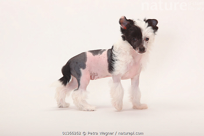 Chinese Crested Dog, hairless puppy, 9 weeks.  ,  BABIES,CUTE,CUTOUT,DOGS,INDOORS,LOOKING AT CAMERA,PETS,PORTRAITS,PUP,PUPPIES,PUPPY,PUPS,SMALL DOGS,STANDING,STUDIO,TOY DOGS,VERTEBRATES,WHITE,YOUNG,Canids  ,  Petra Wegner