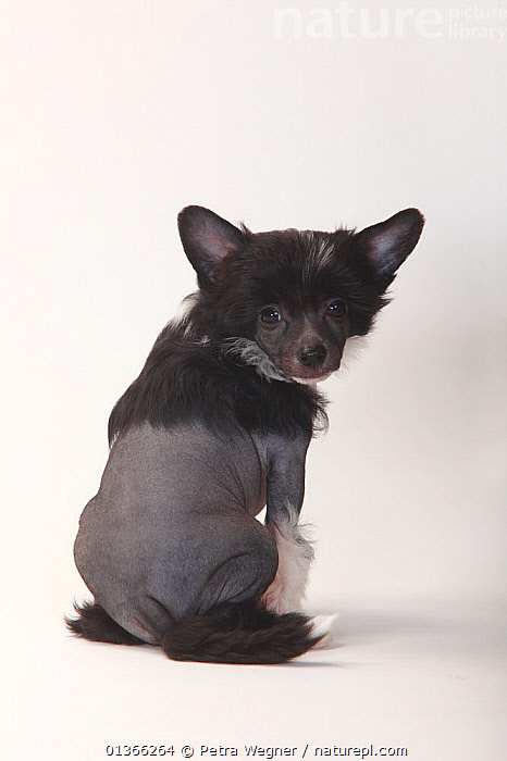 Chinese Crested Dog, hairless puppy, 9 weeks.  ,  BABIES,BLACK,CUTE,CUTOUT,DOGS,INDOORS,LOOKING AT CAMERA,PETS,PORTRAITS,PUP,PUPPIES,PUPPY,PUPS,REAR VIEW,SITTING,SMALL DOGS,STUDIO,TOY DOGS,VERTEBRATES,VERTICAL,WHITE,YOUNG,Canids  ,  Petra Wegner