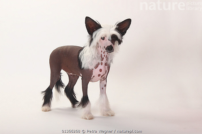 Chinese Crested Dog, hairless puppy, male, 4 months.  ,  BABIES,CUTE,CUTOUT,DOGS,INDOORS,LOOKING AT CAMERA,PETS,PORTRAITS,PUP,PUPPIES,PUPPY,PUPS,SMALL DOGS,STANDING,STUDIO,TOY DOGS,VERTEBRATES,WHITE,YOUNG,Canids  ,  Petra Wegner