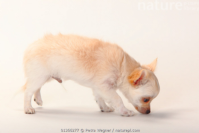 Chihuahua, longhaired puppy, 12 weeks.  ,  BABIES,CUTE,CUTOUT,DOGS,INDOORS,PETS,PORTRAITS,PROFILE,PUP,PUPPIES,PUPPY,PUPS,SMALL DOGS,SMOOTH HAIRED,STUDIO,TOY DOGS,VERTEBRATES,WHITE,YOUNG,Canids  ,  Petra Wegner