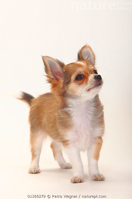 Chihuahua, longhaired puppy, 12 weeks.  ,  BABIES,CUTE,CUTOUT,DOGS,INDOORS,LOOKING AT CAMERA,PETS,PORTRAITS,PUP,PUPPIES,PUPPY,PUPS,SMALL DOGS,SMOOTH HAIRED,STANDING,STUDIO,TOY DOGS,VERTEBRATES,VERTICAL,WHITE,YOUNG,Canids  ,  Petra Wegner