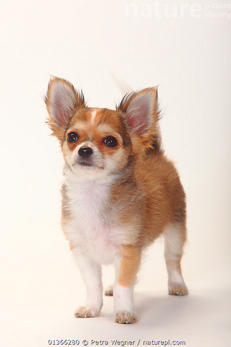 Chihuahua, longhaired puppy, 12 weeks.  ,  animal ear,BABIES,catalogue4,chihuahua,close up,CUTE,CUTOUT,DOGS,eager,EARS,ears pricked,enthusiasm,full length,INDOORS,longhaired,looking at camera,Nobody,one animal,PETS,PORTRAITS,pup,puppies,puppy,pups,small dogs,smooth haired,STANDING,Studio,toy dogs,VERTEBRATES,VERTICAL,WHITE,YOUNG,young animal,Canids  ,  Petra Wegner