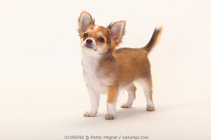 Chihuahua, longhaired puppy, 12 weeks.  ,  BABIES,CUTE,CUTOUT,DOGS,INDOORS,PETS,PORTRAITS,PUP,PUPPIES,PUPPY,PUPS,SMALL DOGS,SMOOTH HAIRED,STANDING,STUDIO,TOY DOGS,VERTEBRATES,WHITE,YOUNG,Canids  ,  Petra Wegner