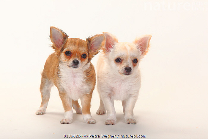 Chihuahua, longhaired puppies, 12 weeks.  ,  BABIES,COLOUR COORDINATED,CUTE,CUTOUT,DOGS,FRIENDS,INDOORS,LOOKING AT CAMERA,PETS,PORTRAITS,SMALL,SMALL DOGS,SMOOTH HAIRED,STANDING,STUDIO,TOY DOGS,TWO,VERTEBRATES,WHITE,YOUNG,Canids  ,  Petra Wegner