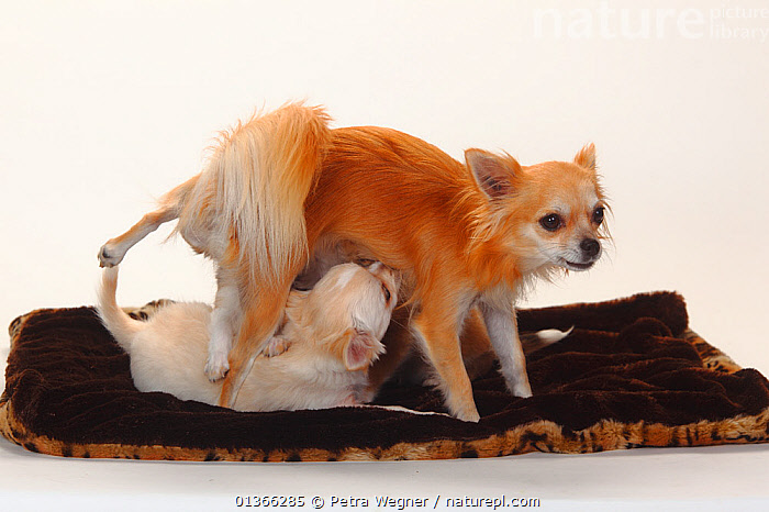 Chihuahua, longhaired bitch nursing puppies, 12 weeks on cushion.  ,  BABIES,BEHAVIOUR,CUTE,DOGS,FEMALES,INDOORS,MOTHER BABY,PETS,PORTRAITS,SMALL,SMALL DOGS,SMOOTH HAIRED,STUDIO,SUCKLING,TOY DOGS,VERTEBRATES,YOUNG,Canids  ,  Petra Wegner