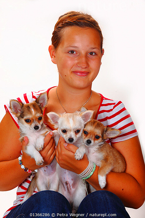 Girl holding Chihuahuas, longhaired puppies, 12 weeks. Model released.  ,  BABIES,CUTE,DOGS,FAMILIES,INDOORS,LOOKING AT CAMERA,PEOPLE,PETS,PORTRAITS,SIBLINGS,SMALL,STUDIO,THREE,VERTEBRATES,VERTICAL,YOUNG,Canids  ,  Petra Wegner
