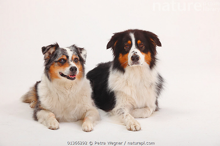 Australian Shepherds, black-tricolour and blue-merle.  ,  COLOUR COORDINATED,CUTE,CUTOUT,DOGS,FAMILIES,FRIENDS,GROUPS,INDOORS,LOOKING AT CAMERA,LYING,MEDIUM DOGS,PASTORAL DOGS,PETS,PORTRAITS,SIBLINGS,STUDIO,TWO,VERTEBRATES,WHITE,Canids  ,  Petra Wegner