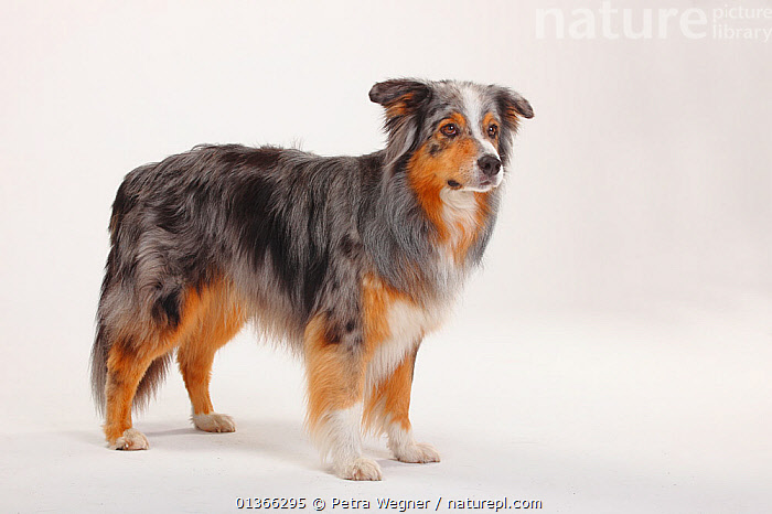 Australian Shepherd, blue-merle, male.  ,  CUTE,CUTOUT,DOGS,INDOORS,LOOKING AT CAMERA,MEDIUM DOGS,PASTORAL DOGS,PETS,PORTRAITS,PROFILE,STANDING,STUDIO,VERTEBRATES,WHITE,Canids  ,  Petra Wegner