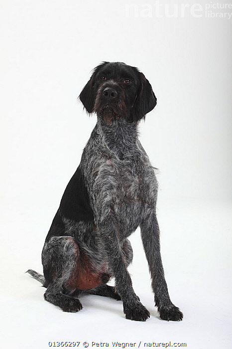 German Wire-haired Pointing Dog, male.  ,  BLACK,CUTE,CUTOUT,DOGS,GUN DOGS,INDOORS,LARGE DOGS,LOOKING AT CAMERA,PETS,PORTRAITS,SITTING,STUDIO,VERTEBRATES,VERTICAL,WHITE,Canids  ,  Petra Wegner