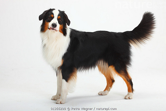 Australian Shepherd, male, black-tricolour.  ,  CUTE,CUTOUT,DOGS,INDOORS,LOOKING AT CAMERA,MEDIUM DOGS,PASTORAL DOGS,PETS,PORTRAITS,PROFILE,STANDING,STUDIO,VERTEBRATES,WHITE,Canids  ,  Petra Wegner