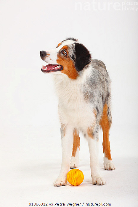 Australian Shepherd, blue-merle bitch with toy ball.  ,  CUTE,CUTOUT,DOGS,FEMALES,HAPPY,INDOORS,MEDIUM DOGS,PASTORAL DOGS,PETS,PLAY,PLAYING,PORTRAITS,SMILING,STANDING,STUDIO,VERTEBRATES,VERTICAL,WHITE,Communication,Canids  ,  Petra Wegner
