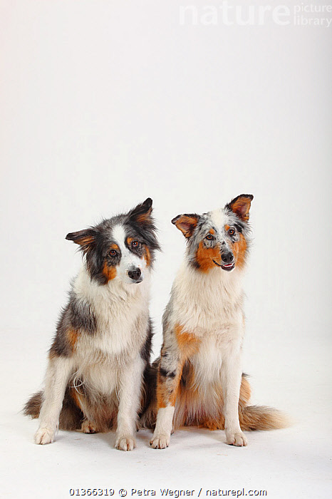 Australian Shepherds, blue-merle bitches.  ,  COLOUR COORDINATED,CUTE,CUTOUT,DOGS,FAMILIES,FRIENDS,GROUPS,INDOORS,LOOKING AT CAMERA,MEDIUM DOGS,PASTORAL DOGS,PETS,PORTRAITS,SIBLINGS,SITTING,STUDIO,TWO,VERTEBRATES,VERTICAL,WHITE,Canids  ,  Petra Wegner