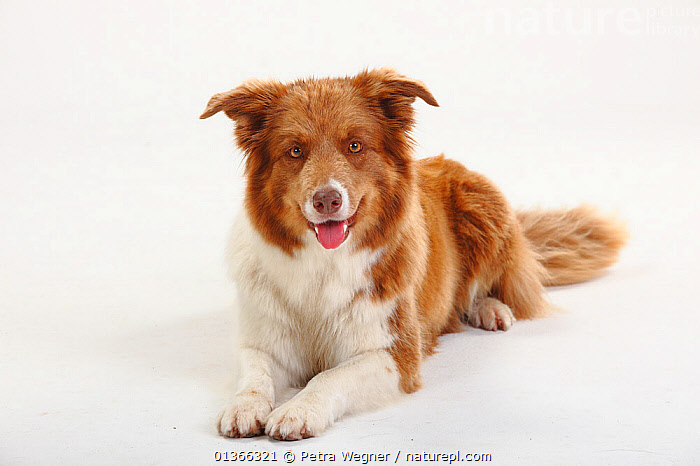 Border Collie lying.  ,  CUTE,CUTOUT,DOGS,INDOORS,LOOKING AT CAMERA,LYING,MEDIUM DOGS,PASTORAL DOGS,PETS,PORTRAITS,STUDIO,VERTEBRATES,WHITE,Canids  ,  Petra Wegner