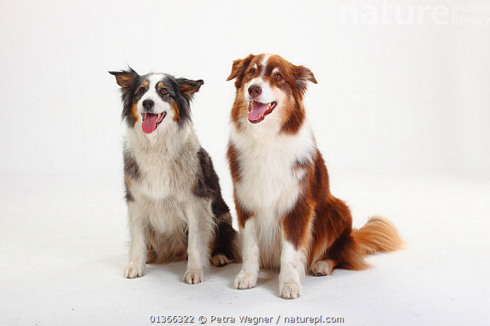 Two Australian Shepherds sitting.  ,  COLOUR COORDINATED,CUTE,CUTOUT,DOGS,FRIENDS,GROUPS,INDOORS,LOOKING AT CAMERA,MEDIUM DOGS,PASTORAL DOGS,PETS,PORTRAITS,SITTING,STUDIO,TWO,VERTEBRATES,WHITE,Canids  ,  Petra Wegner