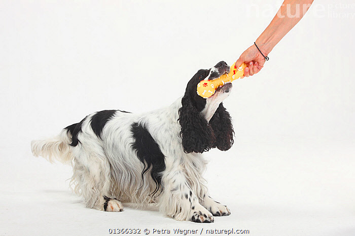 English Cocker Spaniel, black-and-white playing with toy.  ,  CUTE,CUTOUT,DOGS,GUNDOGS,INDOORS,LOOKING AT CAMERA,MEDIUM DOGS,PETS,PLAY,PLAYING,PORTRAITS,STANDING,STUDIO,VERTEBRATES,WHITE,Communication,Canids  ,  Petra Wegner
