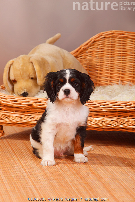 Cavalier King Charles Spaniel puppy, tricolour, 9 weeks.  ,  BABIES,CUTE,DOGS,INDOORS,LOOKING AT CAMERA,PETS,PORTRAITS,PUP,PUPPIES,PUPPY,PUPS,SITTING,SMALL DOGS,STUDIO,TOY DOGS,VERTEBRATES,VERTICAL,YOUNG,Canids  ,  Petra Wegner