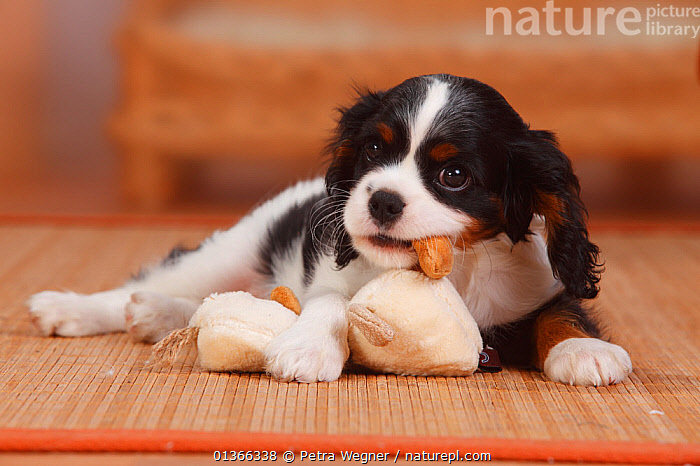 Cavalier King Charles Spaniel puppy, tricolour, 9 weeks playing with toy.  ,  BABIES,CUTE,DOGS,INDOORS,LOOKING AT CAMERA,PETS,PLAY,PLAYING,PORTRAITS,PUP,PUPPIES,PUPPY,PUPS,SMALL DOGS,STUDIO,TOY DOGS,VERTEBRATES,YOUNG,Communication,Canids  ,  Petra Wegner