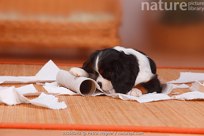 Cavalier King Charles Spaniel puppy, tricolour, 9 weeks, destroying roll of paper.  ,  BABIES,CUTE,DOGS,INDOORS,LOOKING AT CAMERA,NAUGHTY,PETS,PLAY,PLAYING,PORTRAITS,PUP,PUPPIES,PUPPY,PUPS,SMALL DOGS,STUDIO,TOY DOGS,VERTEBRATES,YOUNG,Communication,Canids  ,  Petra Wegner