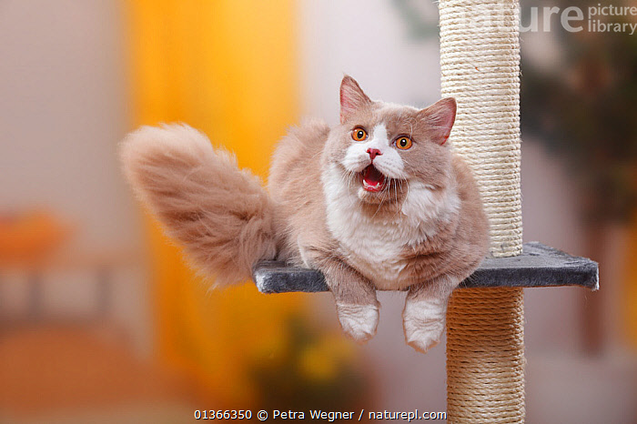 Nature Picture Library - British Longhair Cat, fawn-white