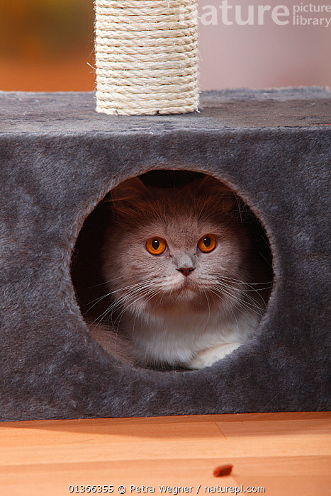 British Longhair Cat, fawn-white / Highlander / Lowlander / Britannica hiding in a box.  ,  animal eye,animal head,animal home,box,British Longhair Cat,catalogue4,CATS,close up,CUTE,grey colour,hiding,INDOORS,looking at camera,Nobody,one animal,PETS,PORTRAITS,scretching post,Studio,VERTEBRATES,VERTICAL,whiskers  ,  Petra Wegner