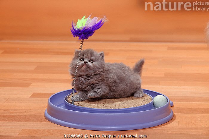 British Longhair Cat kitten, blue-cream, Highlander, Lowlander, Britannica.  ,  BABIES,CATS,CUTE,FLUFFY,INDOORS,KITTENS,LOOKING AT CAMERA,PETS,PLAY,PLAYING,PORTRAITS,SMALL,STUDIO,TOYS,VERTEBRATES,YOUNG,Communication  ,  Petra Wegner
