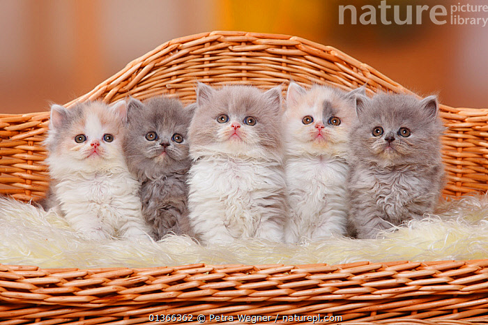 British Longhair kittens / Highlander, Lowlander / Britannica. Five sitting in miniature sofa bed  ,  BABIES,CATS,COLOUR COORDINATED,CUTE,FAMILIES,FLUFFY,FRIENDS,GROUPS,INDOORS,KITTEN,KITTENS,LOOKING AT CAMERA,PETS,PORTRAITS,SIBLINGS,SMALL,STUDIO,VERTEBRATES,YOUNG  ,  Petra Wegner