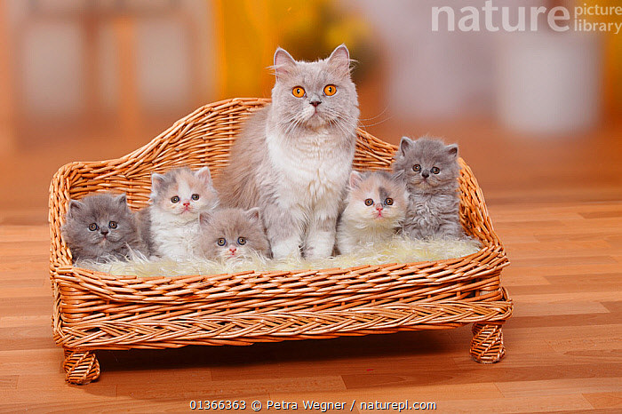 British Longhair Cat and kittens; Highlander / Lowlander / Britannica. Mother and five kittens sitting in miniature sofa bed  ,  BABIES,CATS,COLOUR COORDINATED,CUTE,FAMILIES,FLUFFY,FRIENDS,GROUPS,INDOORS,KITTEN,KITTENS,LOOKING AT CAMERA,MOTHER BABY,PETS,PORTRAITS,SMALL,STUDIO,VERTEBRATES,YOUNG  ,  Petra Wegner