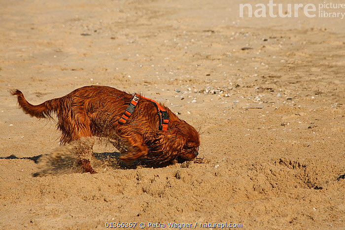 Cavalier King Charles Spaniel digging in sand.  ,  BEACHES,CUTE,DIGGING,DOGS,LOOKING AT CAMERA,OUTDOORS,PETS,PORTRAITS,SAND,SMALL DOGS,STUDIO,TOY DOGS,VERTEBRATES,Canids  ,  Petra Wegner
