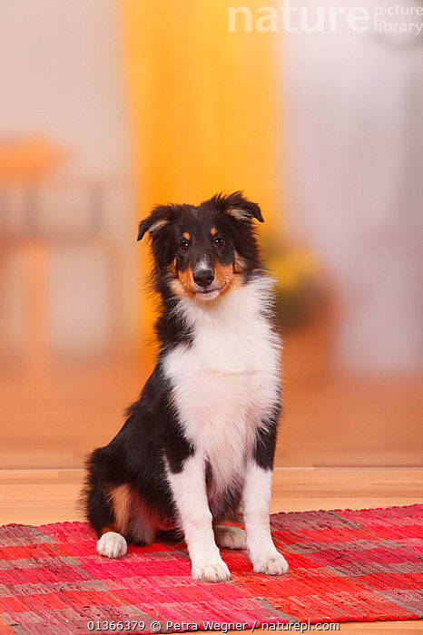 Sheltie / Shetland Sheepdog puppy, 4 1/2 months.  ,  BABIES,CUTE,DOGS,INDOORS,LOOKING AT CAMERA,MEDIUM DOGS,PASTORAL DOGS,PETS,PORTRAITS,PUP,PUPPIES,PUPPY,PUPS,SHELTIE,SITTING,STUDIO,VERTEBRATES,VERTICAL,YOUNG,Canids  ,  Petra Wegner